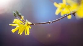 高清晰带水珠的连翘黄花壁纸