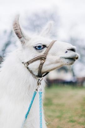 高清晰白色骆驼马壁纸