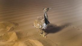 高清晰沙漠中的鸵鸟幼鸟壁纸