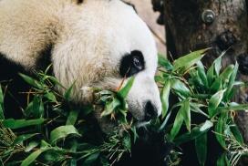 吃竹子的可爱熊猫