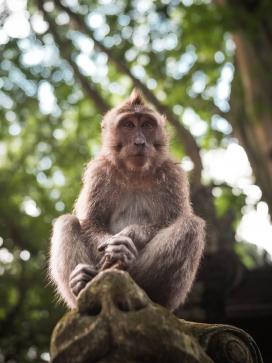 坐在树桩上的峨眉山猴