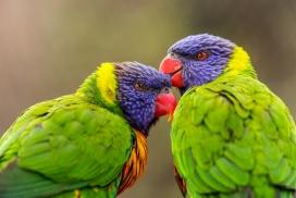 蜷缩在一起的绿毛鹦鹉
