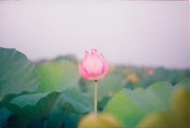 池塘中的荷叶花朵