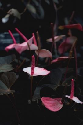 美丽的花烛花