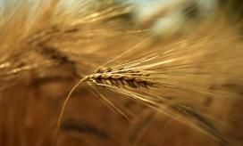 金色麦穗写真图