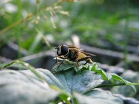 草丛中的食蚜蝇
