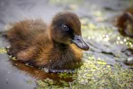 池塘中的黑野鸭