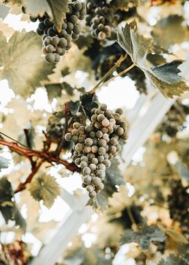 青黄色的葡萄