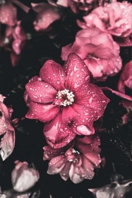 水雨滴的芙蓉葵花瓣