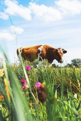 花丛中的黄奶牛