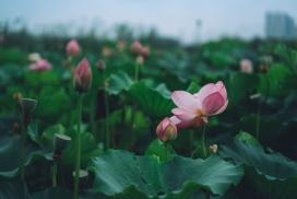 湖中的荷叶花瓣