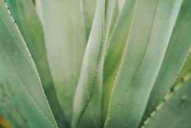 绿色带刺的露兜树