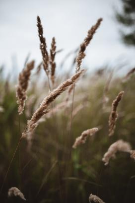 秋季后的芦苇