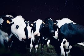 黑白奶牛群