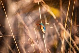 芦笋上的翠鸟