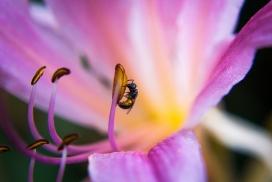 紫茉莉花上采蜜的蜜蜂