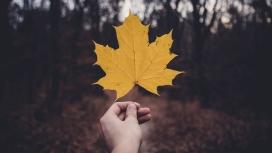 黄颜色的悬铃木树叶