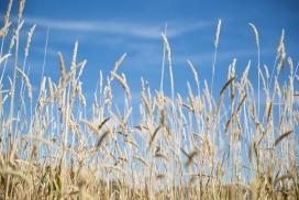 蓝色天空的芦苇草