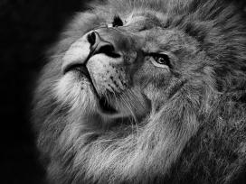 雄狮黑白壁纸