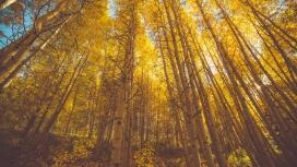 秋季的白桦林森林