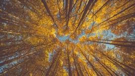 仰拍的秋季白桦树林