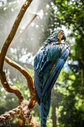 树上的长尾金刚鹦鹉鸟