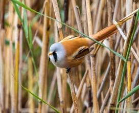 芦苇上的文须雀