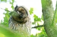树上栖息的长耳鸮