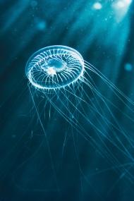 蓝色透明的水母
