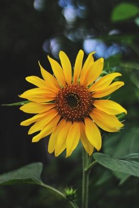 新鲜的向日葵花瓣