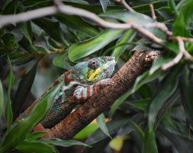 木头上的变色蜥