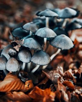 黑香菇植物