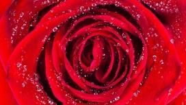 带水珠的红色玫瑰