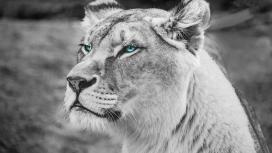 蓝眼狮黑白图
