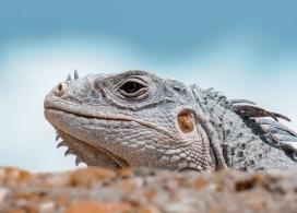 沙漠中的鬣蜥