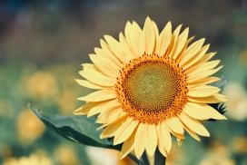 金色向日葵花瓣