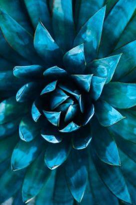 蓝色凤梨叶
