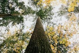 参天大树写真