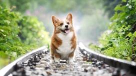 铁轨上的威尔士柯基狗