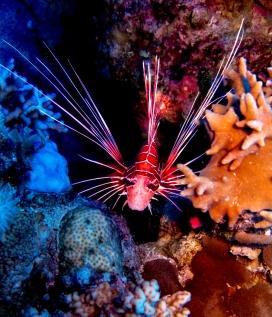 深海中的胡须狮子鱼