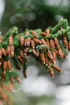 挂满松果的松树