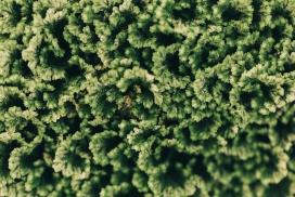 绿葱葱的火炬树