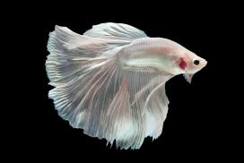 漂亮的白银色狮子鱼