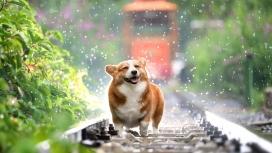 铁轨上可爱的柯基犬图片