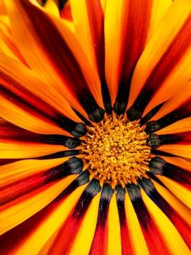 惊艳的向日葵花瓣