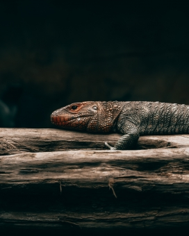 趴在树干上睡觉的科莫多巨蜥