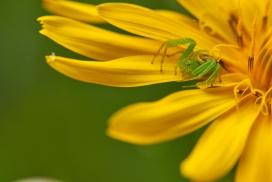 大黄花上的绿色蜘蛛