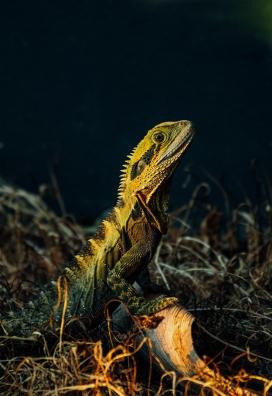 好奇的鬣蜥