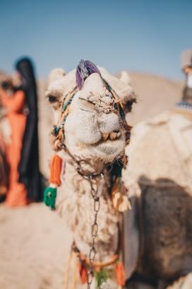 挂满物件的沙漠骆驼