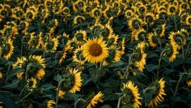 黄颜色向日葵